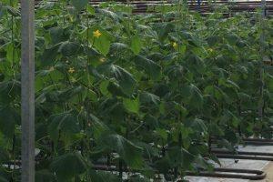 toppede planter