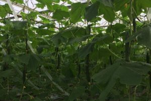 toppede planter mod tag